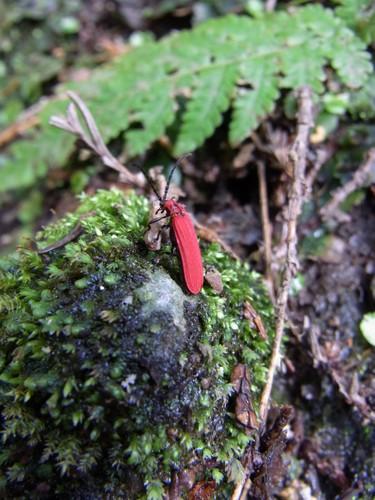 赤い甲虫♪